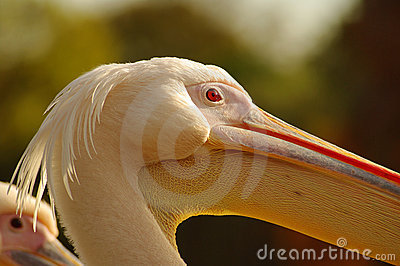 Rosy Pelican at the Luise Park in Mannheim