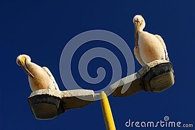 Rosy pelican- pelecanus onocrotalus