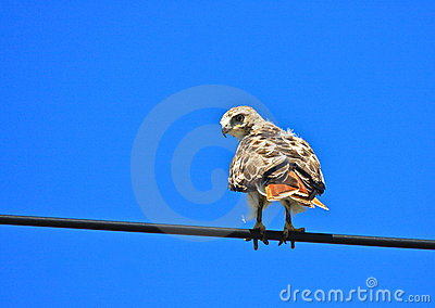 Rot-angebundener Falke auf einem Draht