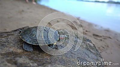 Rot-ohrige Schweber-Schildkröten Trachemys-scripta elegans, Hauptschuß, Abschluss herauf hd stock video