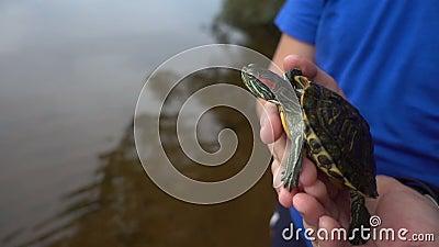 Rot-ohrige Schweber-Schildkröten Trachemys-scripta elegans, Hauptschuß, Abschluss herauf hd stock video footage