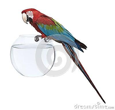 Rot-und-grüner Macaw, stehend auf Fischschüssel