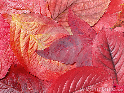 Rotblätter