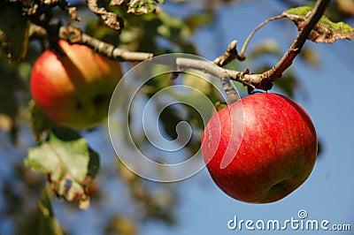 Rote Äpfel, die vom Baum hängen.