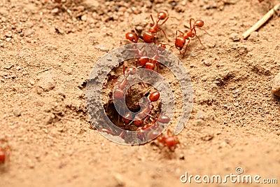 rote ameisen rote ameisen im garten biss garten house und dekor rote ameisen lizenzfreies. Black Bedroom Furniture Sets. Home Design Ideas