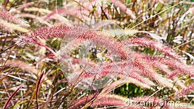 Rote Blüte Wildgrasblüte bei Sonnenschein in der Herbstsaison Hintergrund ist grünes Unkraut stock footage
