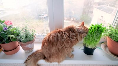 Rote Katze frisst Gras stock video footage