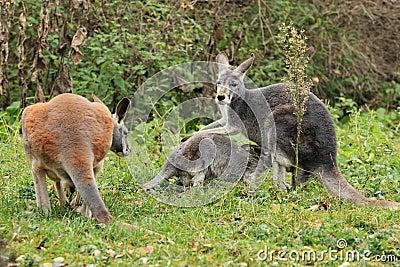 Rote Kängurufamilie
