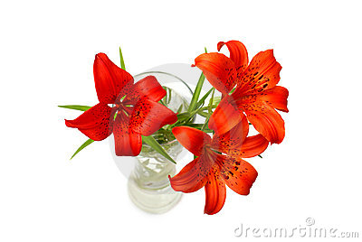 Rote Lilien (Lilium pensylvanicum)
