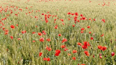 Rote Mohnblumen auf einem bebauten Gebiet stock video footage