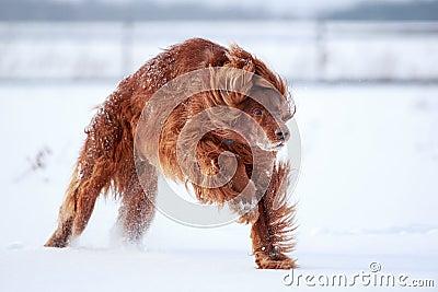 Roter Setterhund