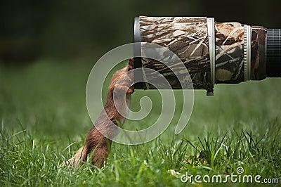 Rotes Eichhörnchen.