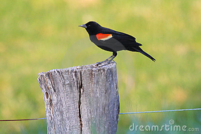 Rotgeflügelte Amsel
