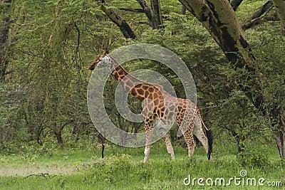 Rothchilds giraffe in kenya