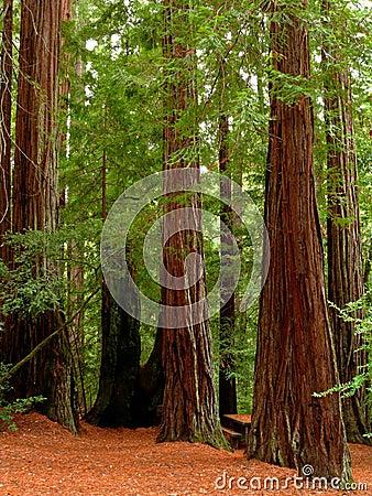 Rotholzbäume