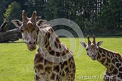 Rothschild s Giraffe