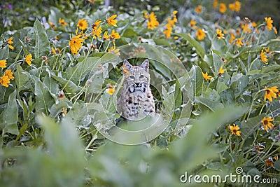 Rotluchs in den Blumen