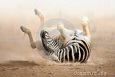 Rotolamento della zebra