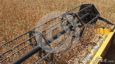 Rotor des Mähdreschers schneidet Weizenähren stock video footage