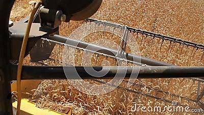 Rotor des Mähdreschers schneidet Weizen ears5 stock footage
