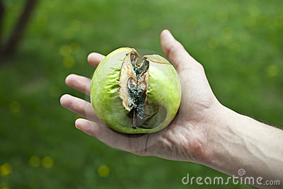 Rotten apple green with mold in a human hand