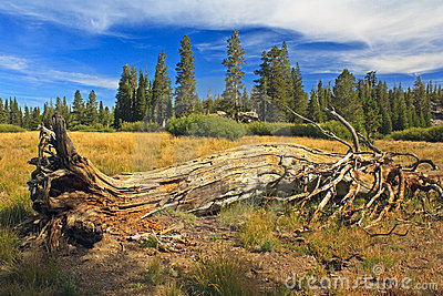Rotting tree at Carson Pass
