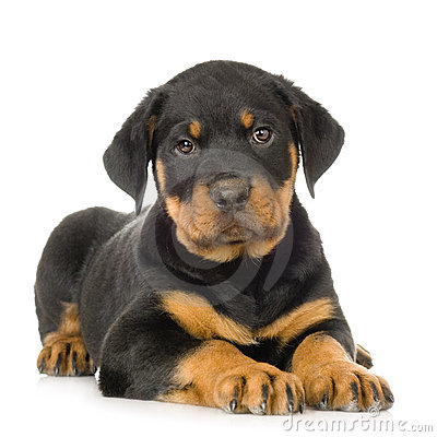 Free Rottweiler Royalty Free Stock Images - 2765279