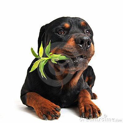 Free Rottweiler And Lucky Bamboo Stock Image - 15798661