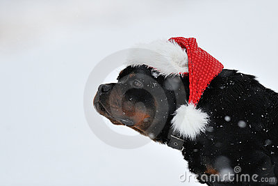 Rottweiler Christmas wishes