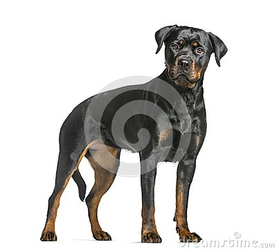 Free Rottweiler Dog, Guard Dog Standing And Looking At The Camera, Is Royalty Free Stock Photography - 105770187