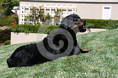 Rottweiler posed on the lawn