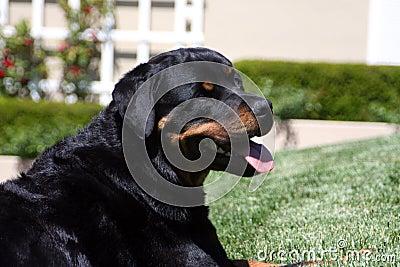 Rottweiler head portrait