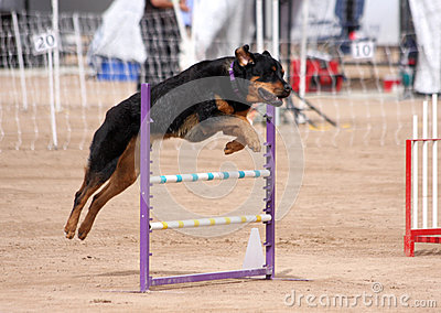 Rottweiler flying over a jump
