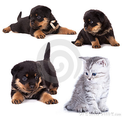 Rottweiler  and kitten