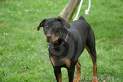 Rottweiler on a leash