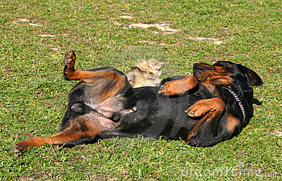 Rottweiler and little dog