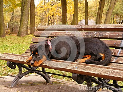 Rottweiler lying on the garden bench