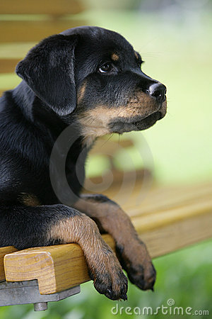 Rottweiler Puppy Royalty Free Stock Photos - Image: 17539578