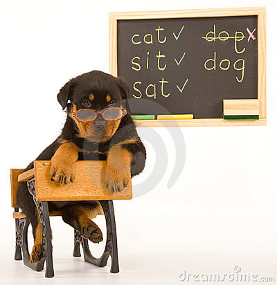 Rottweiler puppy sitting on mini school desk