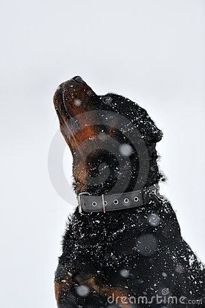 Rottweiler in a snowing wintertime