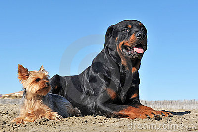 Rottweiler And Yorkshire Terrier Stock Image - Image: 16985401