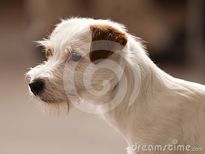 Rough Coated Jack Russel Terrier