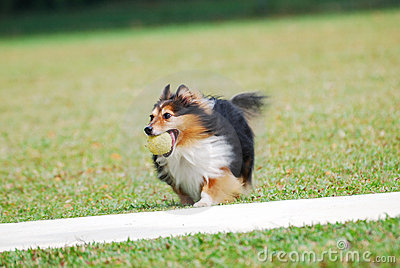 Rough Collie Puppy