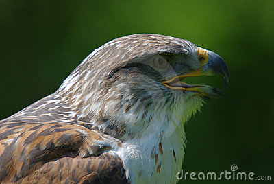 Rough legged buzzard