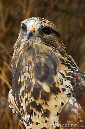 Rough-legged Hawk (3)