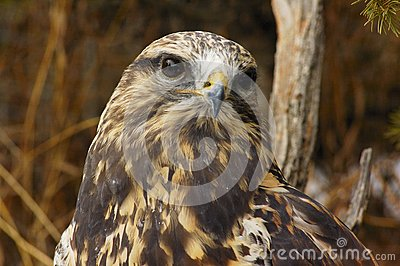 Rough-legged Hawk (7)