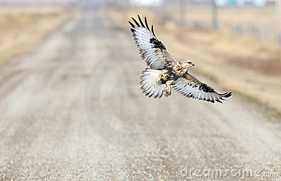 Rough Legged Hawk In Flight with mouse
