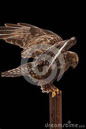 Rough-legged Hawk outstetched wings isolated