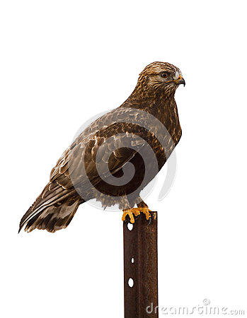 Rough-legged Hawk roosting isolated white