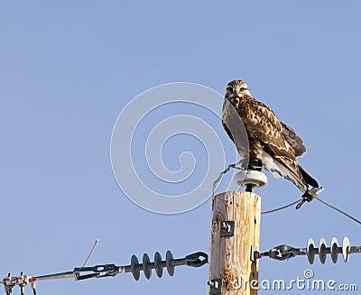 Rough-legged Hawk on telephone pole